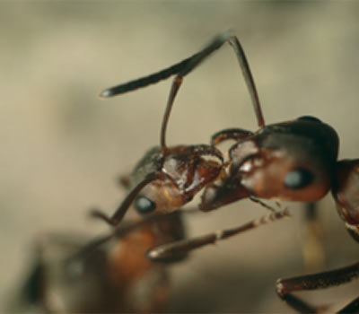 Ant Biology & Management