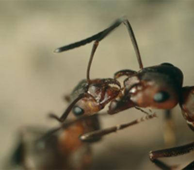 Ant Biology & Management