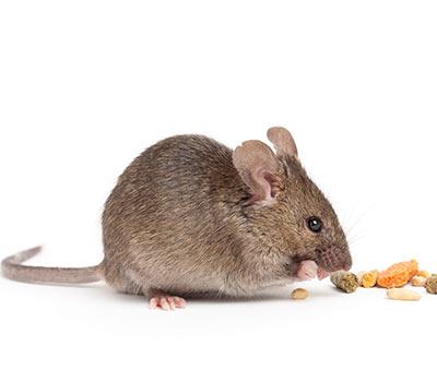 Rodent Biology, Behavior and Management