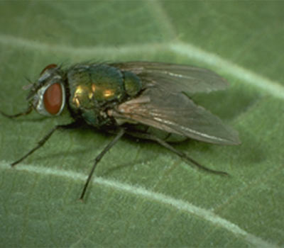 Introduction to Small & Large Filth Flies